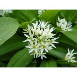 Allium ursinum, Bärlauch, Geophyten im Yuccashop kaufen -