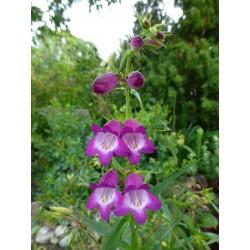 Penstemon x mexicali Violett, Bartfaden vom Yuccashop -