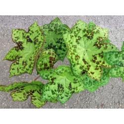 Podophyllum 'Spotty Dotty', Stauden, Specials, Yuccashop -