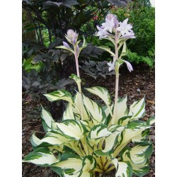 Hosta 'Fire and Ice' Stauden winterhart kaufen Yuccashop Pflanze