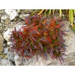 Dracocephalum argunense, Stauden vom Yuccashop -