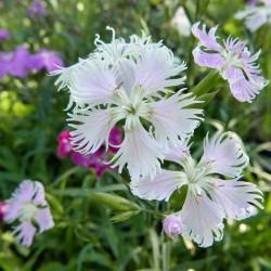 Dianthus superbus x barbatus Hybriden, Stauden vom Yuccashop -