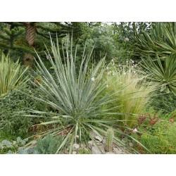 Yucca arkansana [Oklahoma], Palmlilien vom Yuccashop -