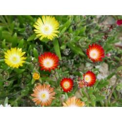 Delosperma-Set ''Goldjuwelen'', Mittagsblumen, Yuccashop -