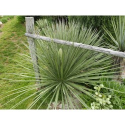 Yucca glauca, Palmlilien vom Yuccashop -