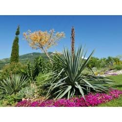Yucca Hybride GG 002, Pflanzen für besondere Gärten, Yuccashop -