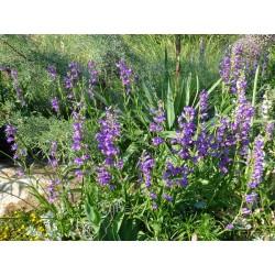 Penstemon virgatus, Blauer Ruten-Bartfaden vom Yuccashop -