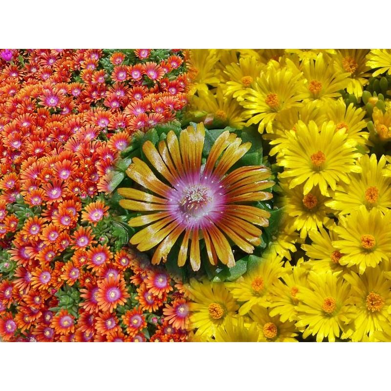 Delosperma-Set ''Goldene Bodendecker'', Mittagsblumen, Yuccashop -