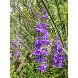 Penstemon strictus ssp. strictus, Bartfaden vom Yuccashop -