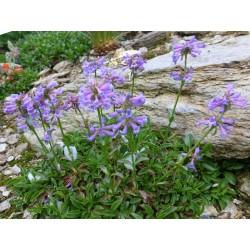 Penstemon procerus v. formosus, Bartfaden vom Yuccashop -