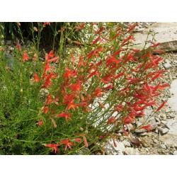 Penstemon pinifolius Formenmix, Bartfaden vom Yuccashop -