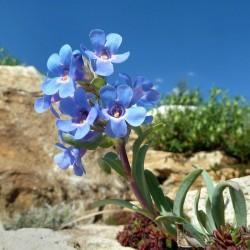 Penstemon nitidus, Bartfaden im Yuccashop kaufen -