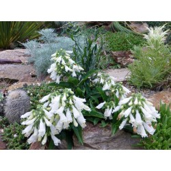 Penstemon hirsutus 'Pygmaeus Albus', Bartfaden, Yuccashop -