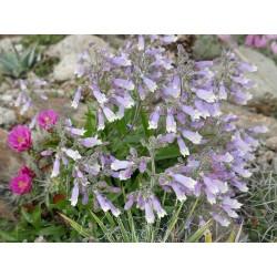 Penstemon hirsutus 'Pygmaeus', Bartfaden vom Yuccashop -