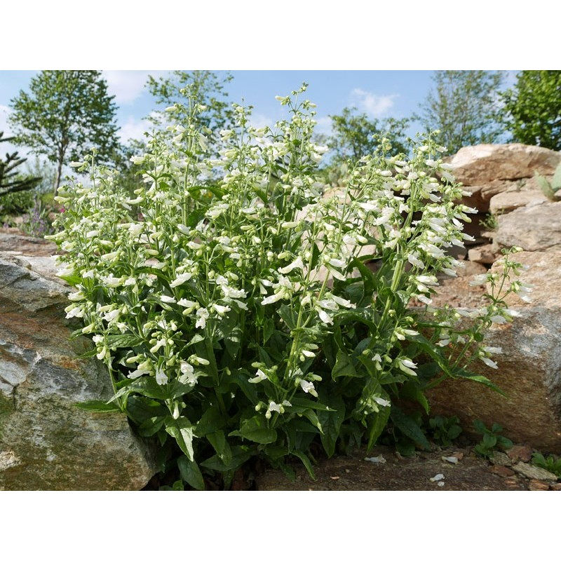 Penstemon hirsutus f. albus, Bartfaden vom Yuccashop -