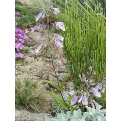 Penstemon hirsutus, Bartfaden im Yuccashop kaufen -