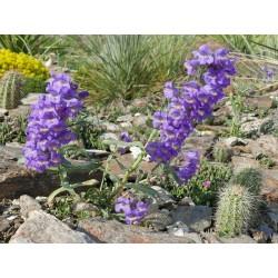 Penstemon eriantherus v. redactus, Bartfaden vom Yuccashop -