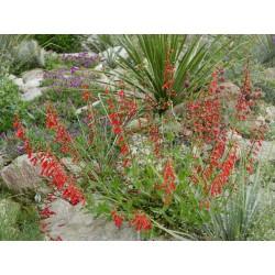 Penstemon eatonii, Bartfaden im Yuccashop kaufen -
