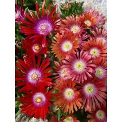 Delosperma-Set ''Rote Bodendecker'', Mittagsblumen, Yuccashop -