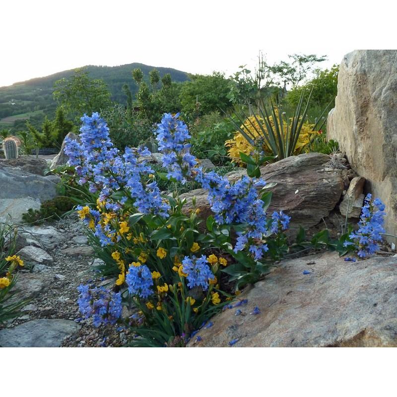 Penstemon cyananthus, Bartfaden im Yuccashop kaufen -