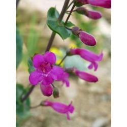 Penstemon clevelandii var. connatus, Bartfaden vom Yuccashop -