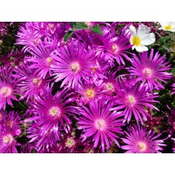 Delosperma 'World Seeds' Delosperma winterhart kaufen Yuccashop Pflanze