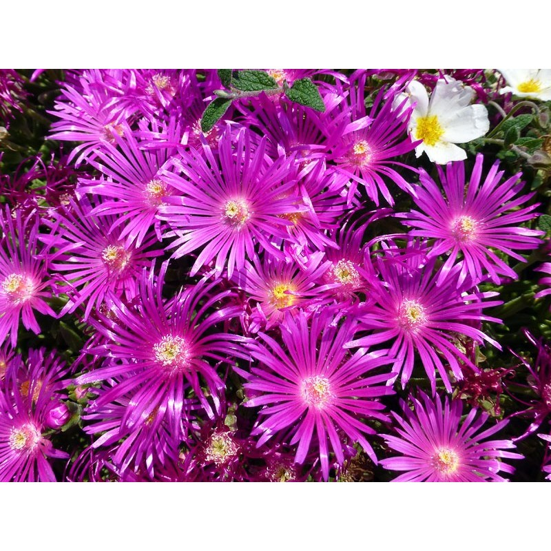 Delosperma 'World Seeds', Mittagsblume, im Yuccashop kaufen -