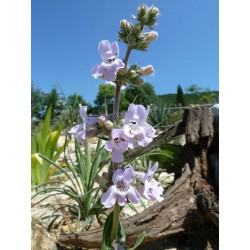 Penstemon albidus (lavender), Bartfaden, Yuccashop -