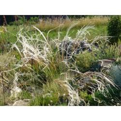 Stipa pulcherrima f. nudicostata, Gräser vom Yuccashop -