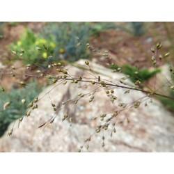 Sporobolus heterolepis 'Wisconsin Strain', Gräser vom Yuccashop -