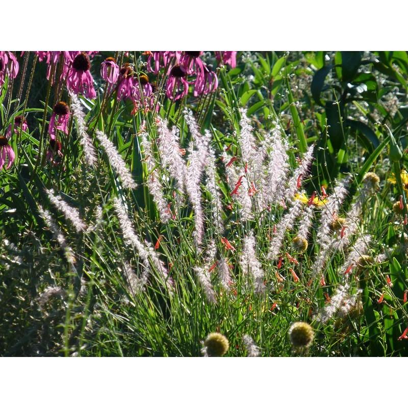 Pennisetum orientale, Gräser vom Yuccashop -