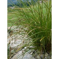 Carex secta, Gräser im Yuccashop kaufen -