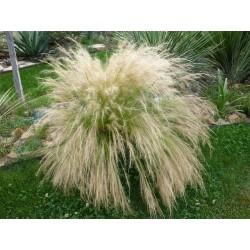 Nassella tenuissima, Gräser vom Yuccashop -