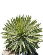 Yucca Arten vom Yuccashop