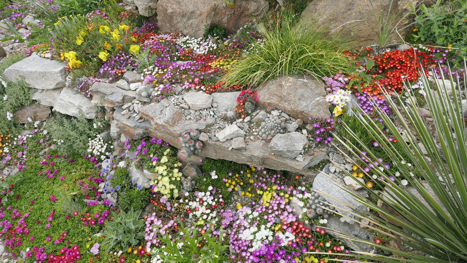 Zwergige Mittagsblumen im Garten